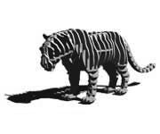 d-torso Tiger
